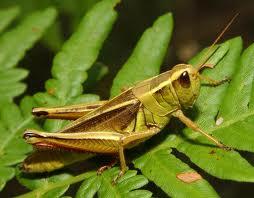 belalang